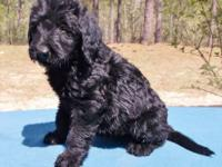 Beautiful F1 Labradoodle puppies. The mother is LuLu,