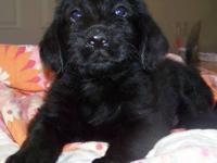 Ready to go home: June 27th: This little Labradoodle