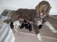 8 Multi-Gen Labradoodle puppies just arrived. Born