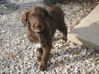 We have some quite precious chocolate Labradoodle young