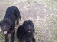 Three male black Labradoodle pups for sale. 18 weeks