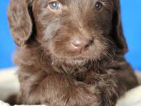 We have a litter of beautiful Labradoodle puppies. Many