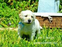 Cute, adorable, labradoodles for sale... near the DFW