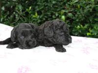 Multigeneration Australian LABRADOODLES. Mini's and