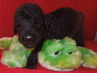 Labradoodle! F1b This puppy is a 1st generation