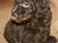 We at mylabradoodlebreeders.com have some of the most