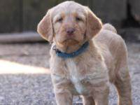 I am have two beautiful labradoodle pups that will be
