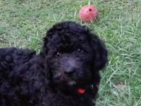 We have Beautiful Litter of Multi Gen Labradoodles.They
