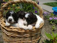 Beautiful mult-generation labradoodle puppies. CKC