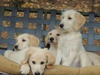 Labradoodles Puppies! Males and females, second
