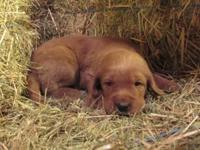 F1 Labradoodle new puppies! black, brown, orange and