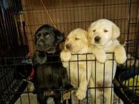 WE HAVE YELLOW AND BLACK, MALE AND FEMALE, LAB PUPS FOR