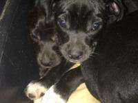 I have 3 black 7 week aged female & & one male Lab
