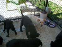 Gorgeous, 10 week old, 5 (black) males, 1 blonde male