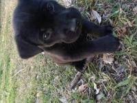 I have two months old Labrador retriever mix with