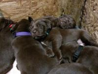 Six purebred Labrador puppies offered. 1 Black Female.