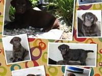 AKC Chocolate Labrador puppies Beautiful dark chocolate