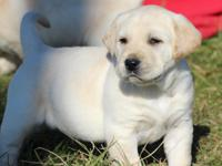 Akc registered lab puppies 6 males 1 female.