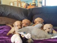 5 yellow lab puppies 3f&2m 1st shots and health