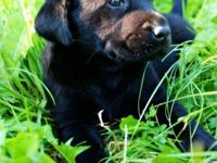 We have Available 6 beautiful Labrador puppies, 3