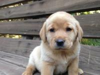 ADORABLE English/American lab puppies that will be