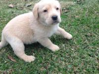 Labrador puppies for sale 5 yellow (2male 3 female) 2