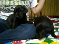 Full blooded laboratory young puppies for sale 250