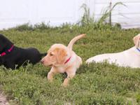 AKC Labrador Puppies from a tri-colored trash! We have