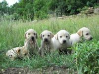We have a litter of 75% lab, 25% hound puppies, the