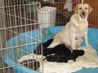 We have been raising Labradors for over 30 years. They
