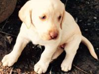 Labrador Retreiver CKC Blond Female Socialized,
