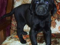We have 2 lovely purebred female Lab pups searching for