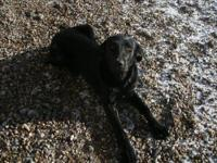 Labrador Retriever - 12-19-12 - Large - Young - Female