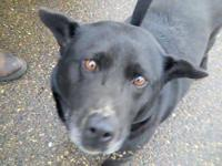 Labrador Retriever - 8561 Lady - Medium - Senior -