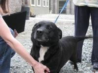 Labrador Retriever - A055839 - Medium - Adult - Male -