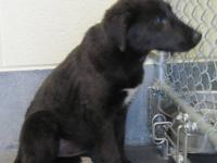 Labrador Retriever - Abby - Medium - Adult - Female -
