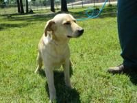 Labrador Retriever - Aerial - Large - Young - Female -