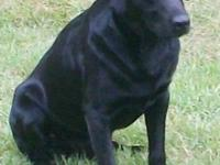 Mojo is an AKC black Labrador Retriever who loves to be