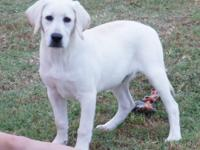 Labrador Retriever Puppy, AKC, BIG BLOCK HEAD, English