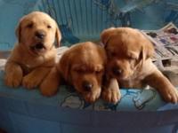 AKC registered ENGLISH Labrador Retriever Guy. Ready to