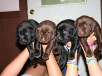 Chocolate $600.00 and Black $500.00 Labs AKC Will