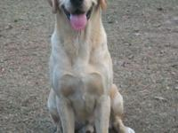 23 month AKC yellow Labrador Retriever for sale by
