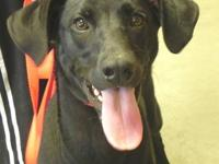 Labrador Retriever - Ali - Large - Adult - Female -