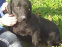 Labrador Retriever - Amadeus - Medium - Adult - Male -