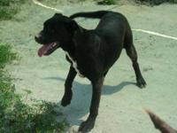 Labrador Retriever - Amanda - Medium - Young - Female -