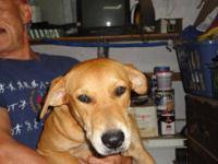 Labrador Retriever - Amelia - Medium - Young - Female -