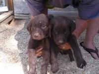 Two gorgeous male AKC Chocolate lab pups with papers.