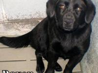 Labrador Retriever - Andrea - Medium - Young - Female -