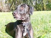 Labrador Retriever - Angus - Large - Young - Male -