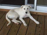 Labrador Retriever - Annabelle - Medium - Young -